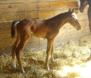 2008Foals/CarryOn1dayold2.jpg