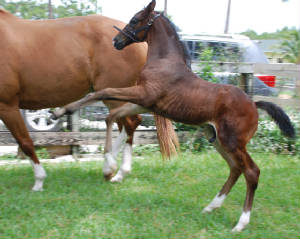 2009-Foals/BR-stud-in-training-72.jpg
