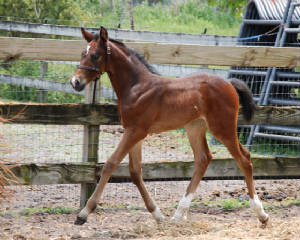 2009-Foals/BR-trotting-at-2-wks.jpg
