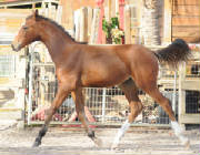 2010Foals/1-Blue-trotting_72.jpg