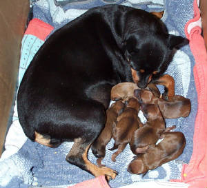 Dogs/Brittanywith6puppiesday1.JPG