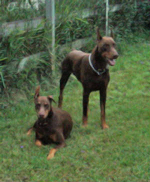 Dogs/Red-Dobes-guarding.jpg